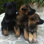 Perros Pastor Aleman : Cachorros