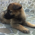 Cachorra Pastor Aleman